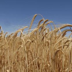 A klímaváltozás miatt előtérbe kerül az őszi árpa