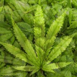 Amit itthoni biztosan hiába keresel: IPA, igazi cannabissal