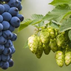 A komló és a szőlő lenne 2018 álompárja?