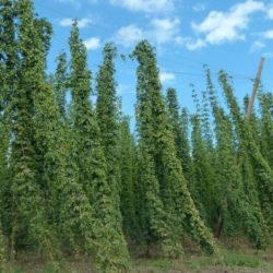 2500 tő komlót ültettek Somogyban