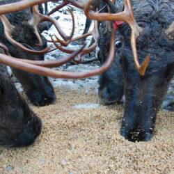 Egy alaszkai sörfőzde brutálisan bevágódott a rénszarvasoknál