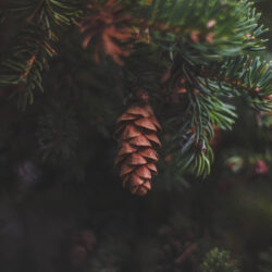 A karácsonyfa újrahasznosítás következő szintje: a fenyősör