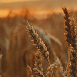 Sörárpa-termesztés: Közép-Európában komoly kockázat a klímaváltozás